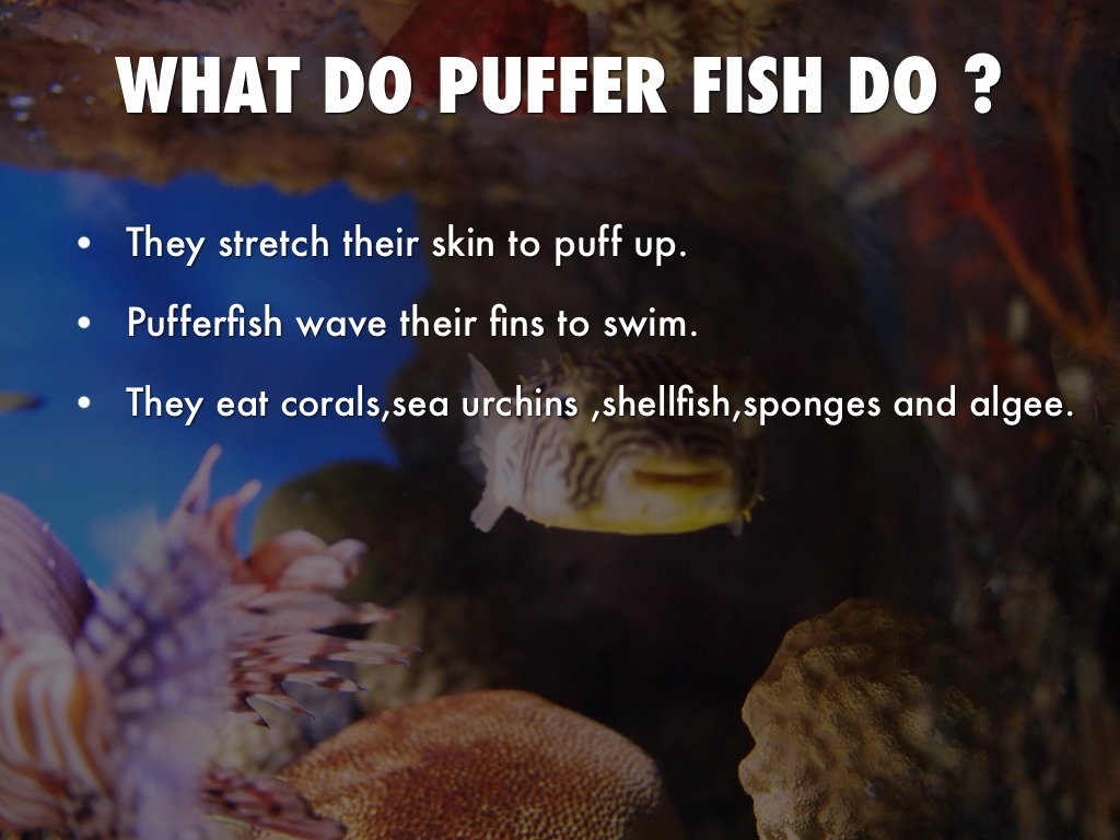 Puffer fish by melissa pederson for Puffer fish facts