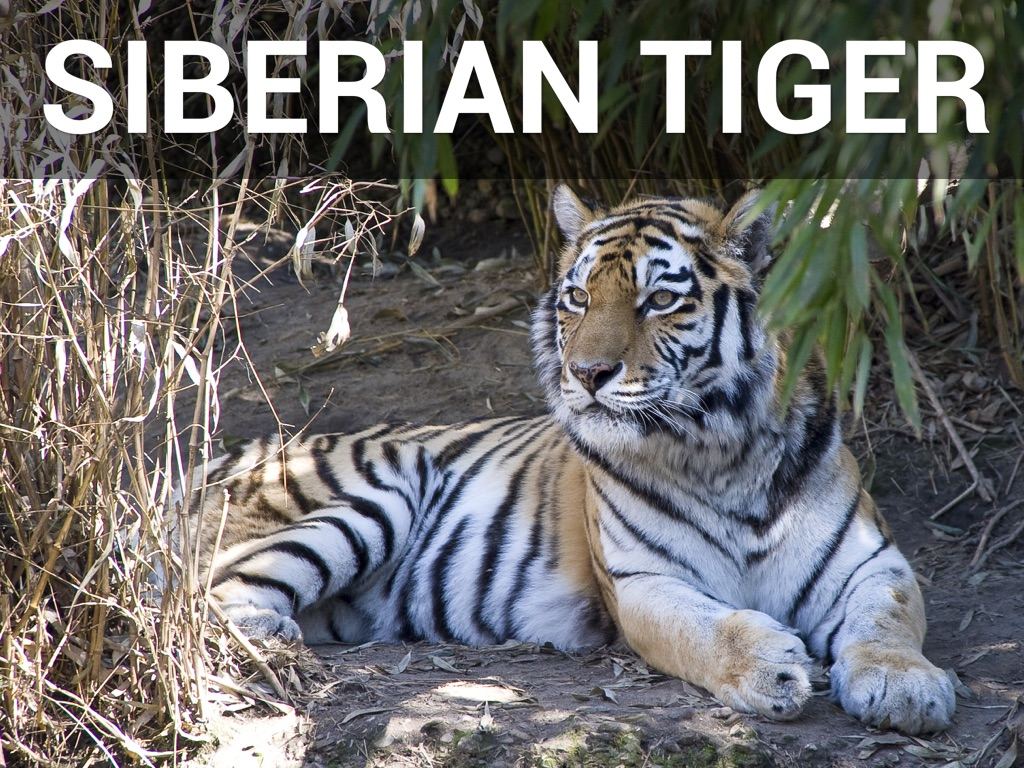 endangered siberian tiger essay Free essay: endangered tigers today wild tigers exist in eastern russia, china, vietnam, cambodia, north korea, thailand, malaysia, indonesia, bhutan, india.