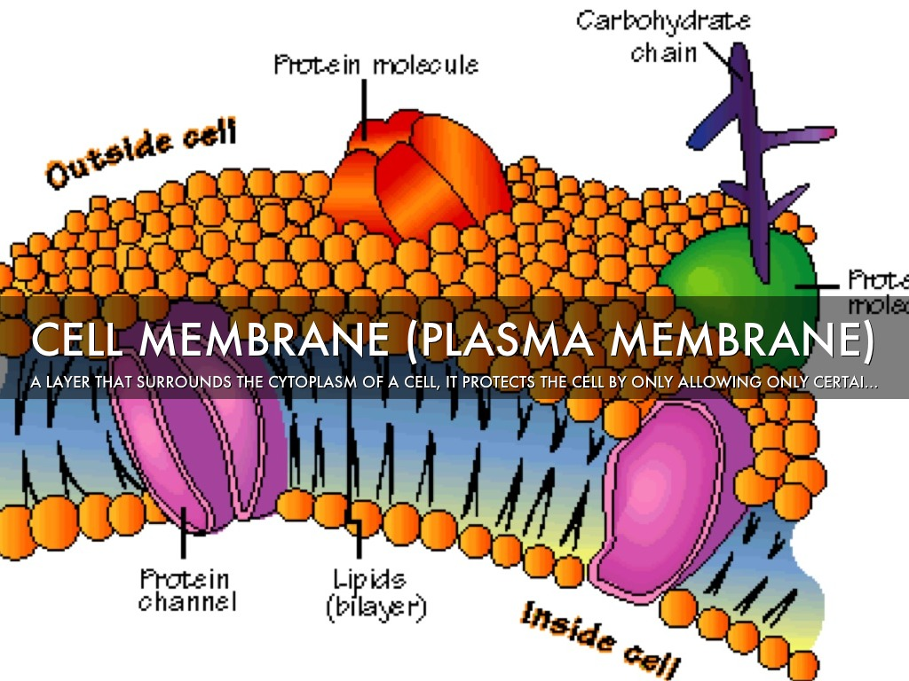 the role of the plasma membrane