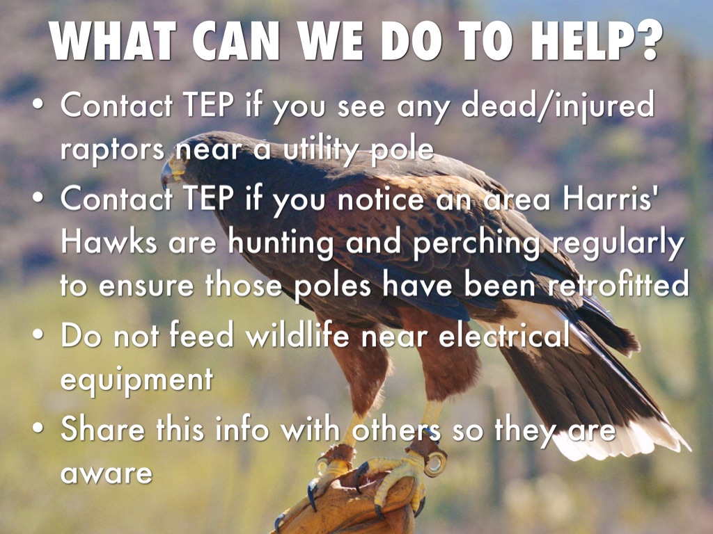 Save Tucsons Harris Hawks By Laurie Niemiec