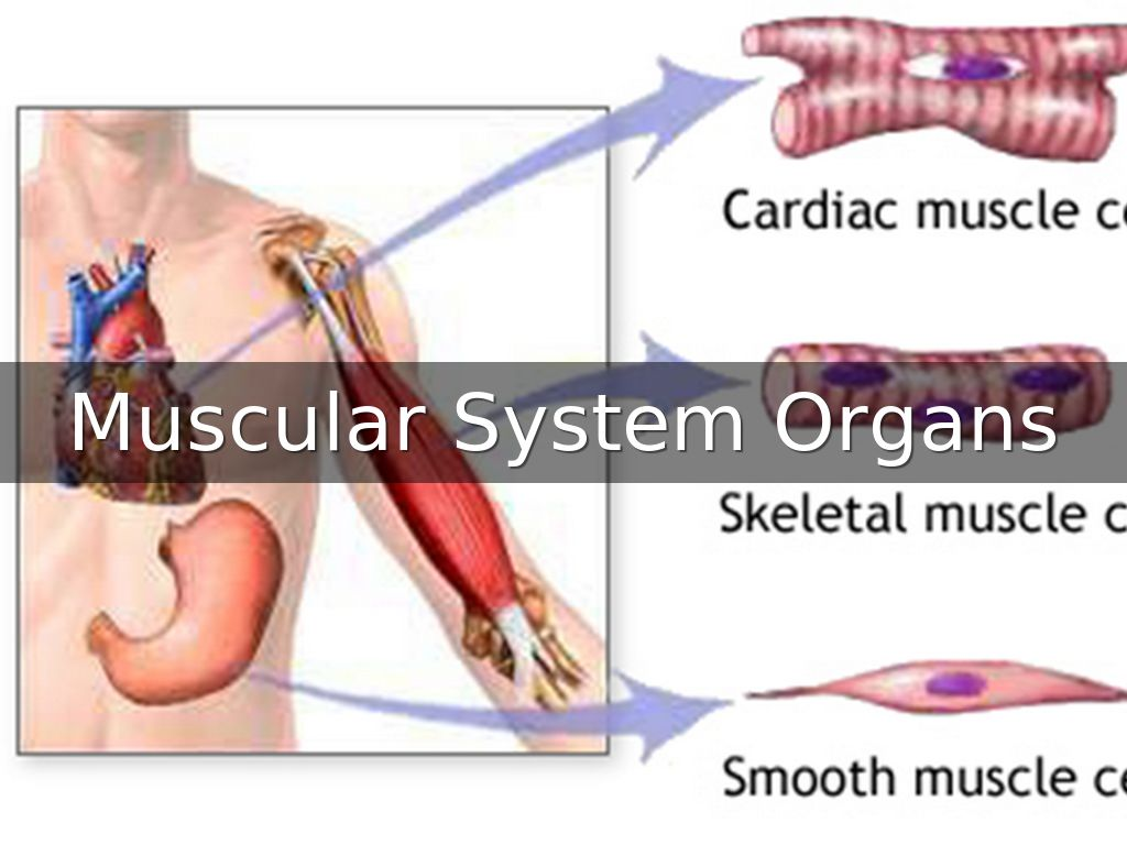 MUSCULAR SYSTEM ORGANS by Areeba