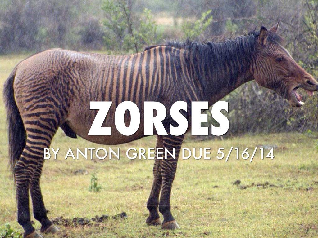 Zorses And Zonkeys   www.pixshark.com - Images Galleries ...
