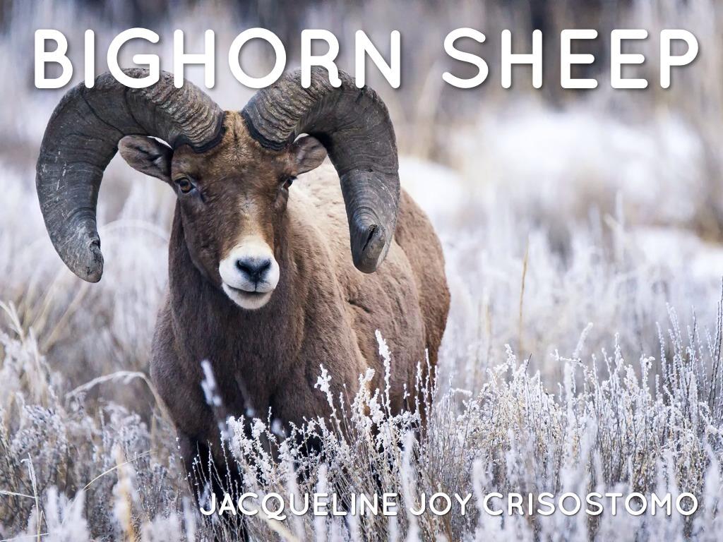 Bighorn Sheep by Kim Bass