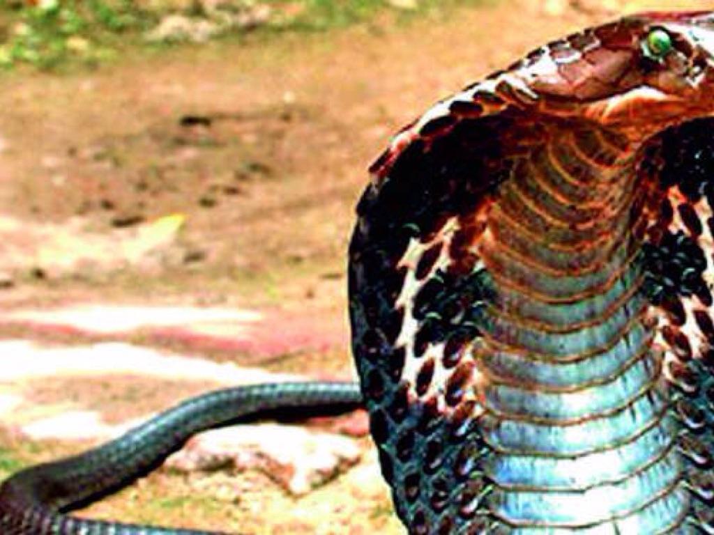 king cobra by sara lewis