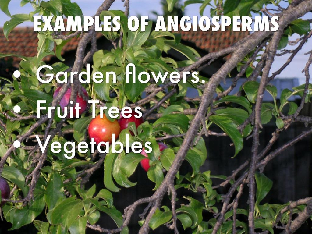 Angiospermsgymnosperms By Tyler Ryan