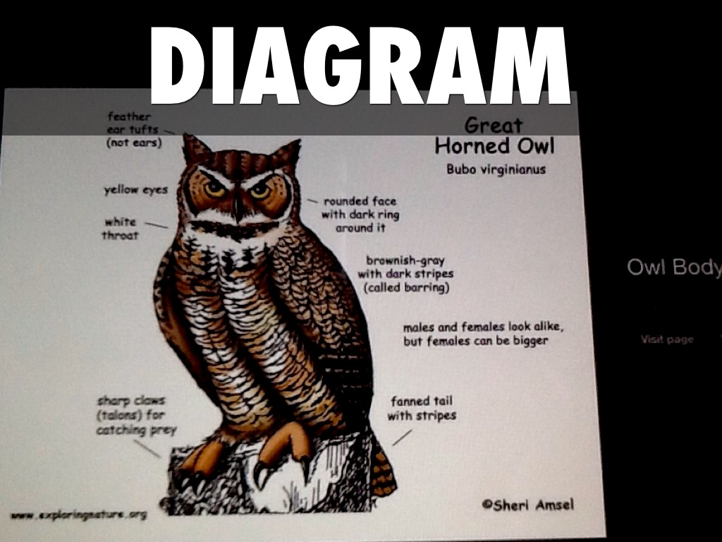 Diagram Of A Great Horned Owl - Wiring Diagram & Electricity Basics ...
