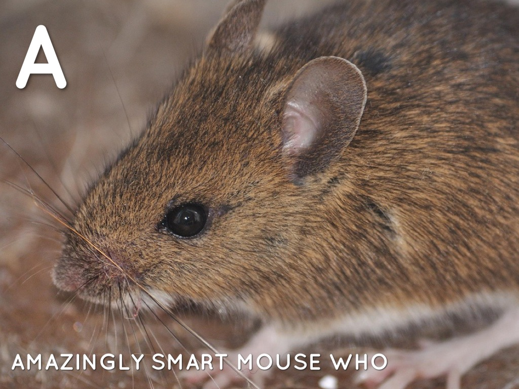 A AMAZINGLY SMART MOUSE WHO