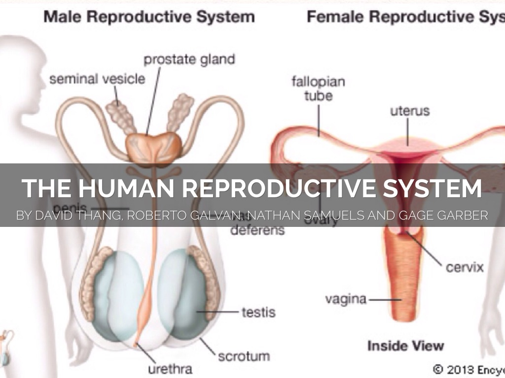 Human Reproductive System By David By David Thang