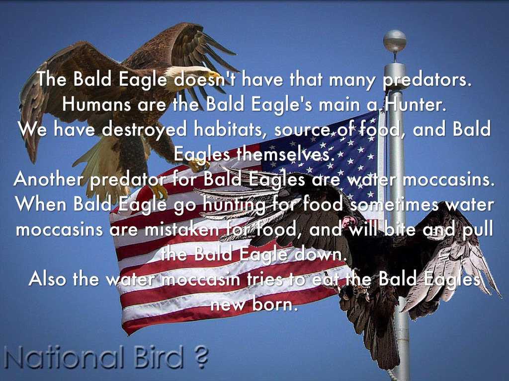 Bald Eagle by Hudson Hale