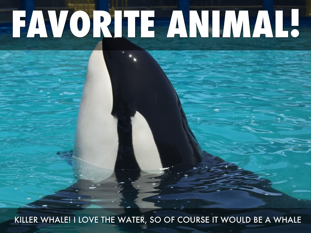 The First Captive Killer Whales  A Changing Attitude