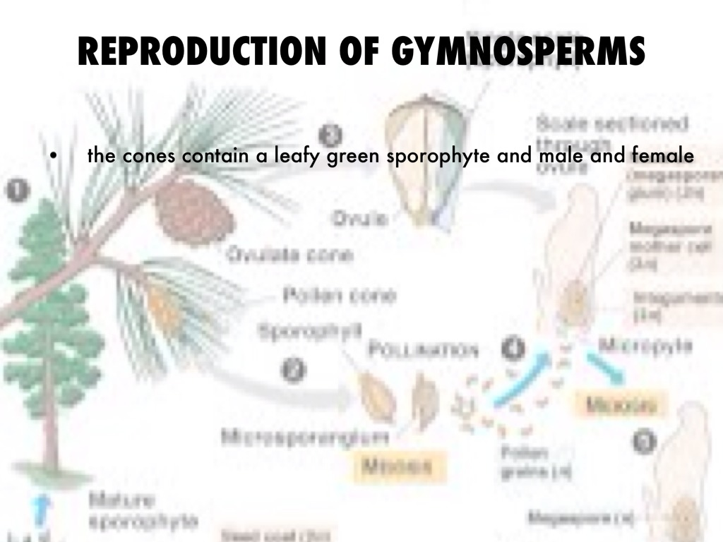Sexual reproduction in gymnosperms