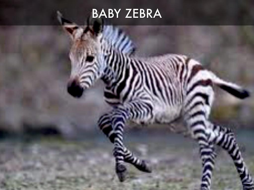 zebra by carl stewart
