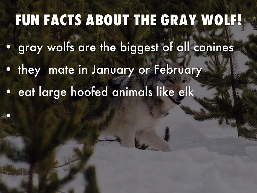 Gray Wolf By Robinballou20