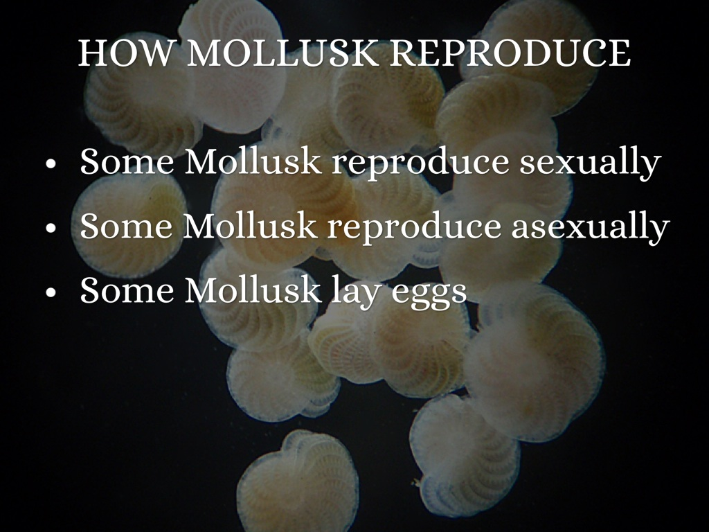 Mollusks reproduce sexually or asexually