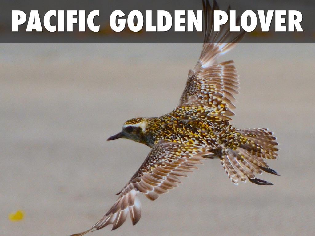Baby pacific golden plover