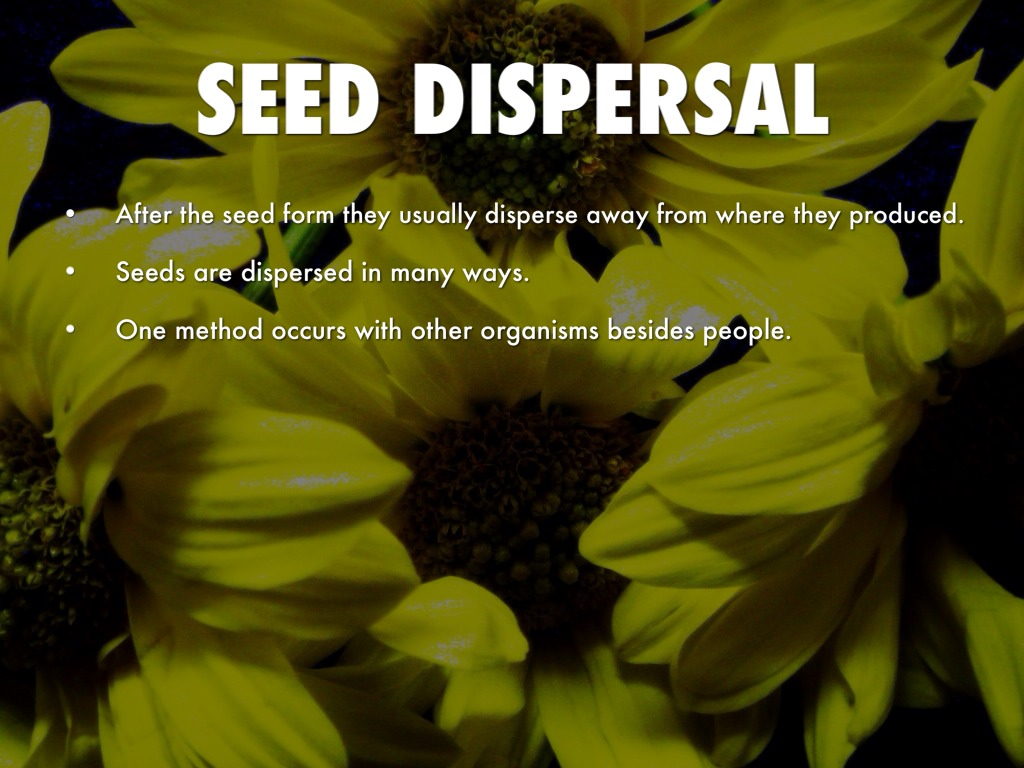 seed dispersal Dispersal of seeds is basically a process in which seeds are transported to different places this ensures that the plant develops in a variety of regions and increases the chances of survival and production dispersal of seeds is an important process there are different agents that help in dispersion of seeds.