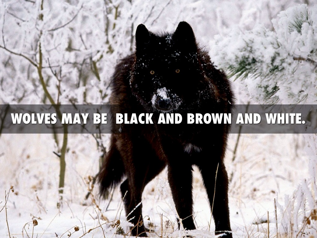 Wolves dangerous hunters by vietmeik wolves may be black and brown and white sciox Images