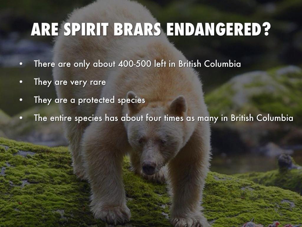 Spirit bear by blivaditis are spirit brars endangered biocorpaavc Choice Image