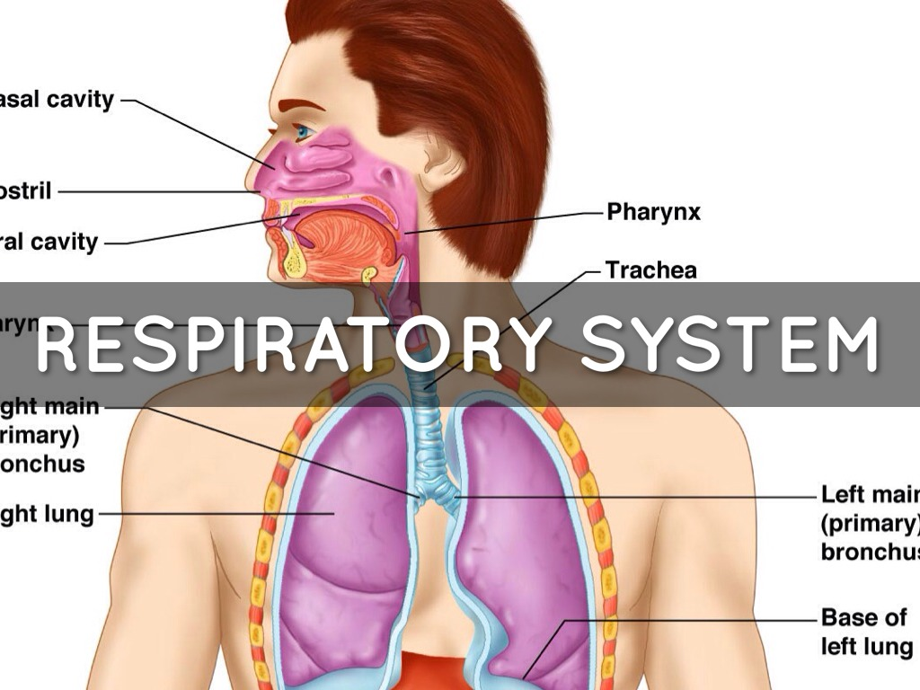 Respiratory System Quadrant Cards By Anna Leigh Isom