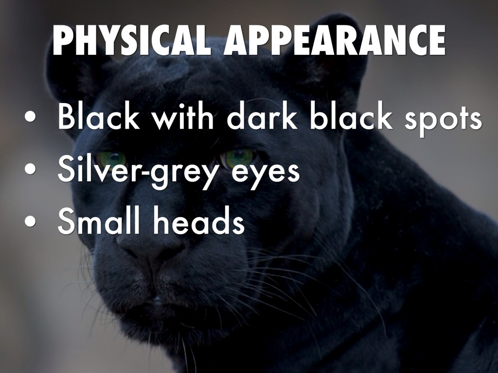black panther physical characteristics