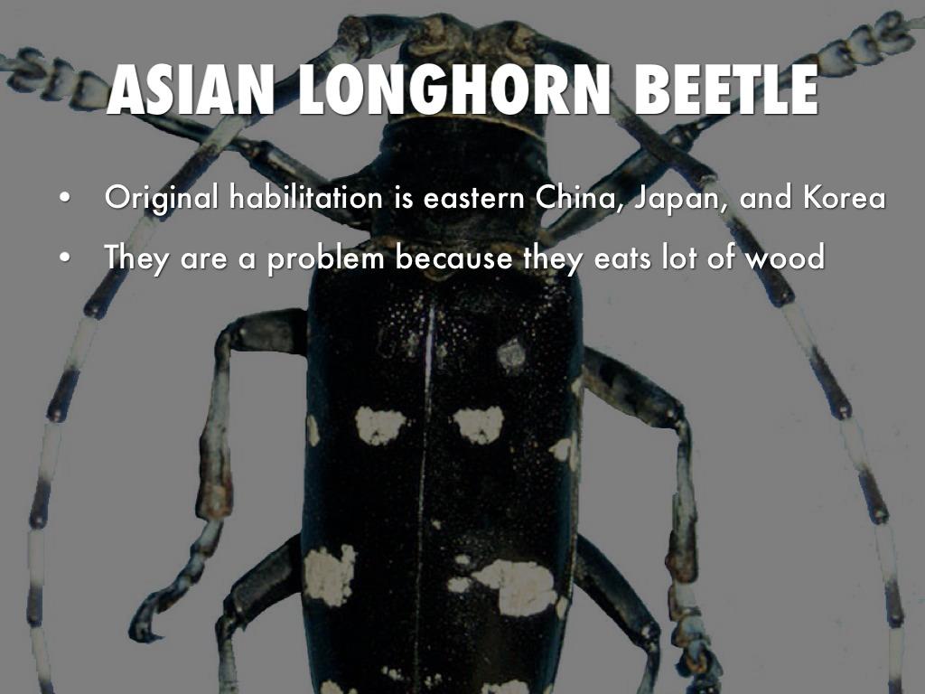Asian longhorn beetle eats