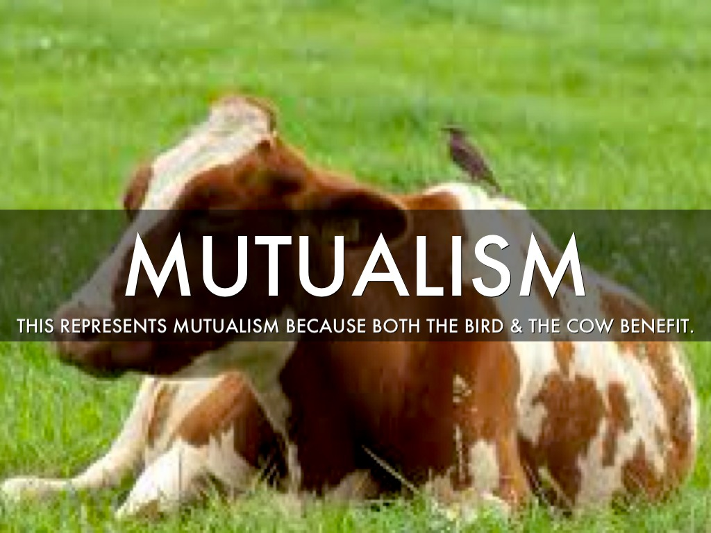the idea of mutualism between animals Mutualism is a relationship between organisms from two different species in which both of the organisms benefit from the relationship both organisms use each other for a variety of reasons, which could include getting nutrients, protection, and other functions both animals in the relationship are called symbionts.
