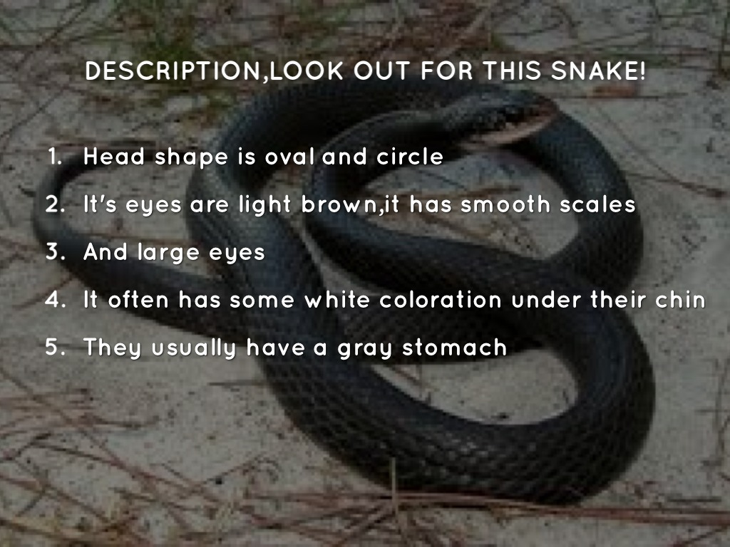 DESCRIPTIONLOOK OUT FOR THIS SNAKE