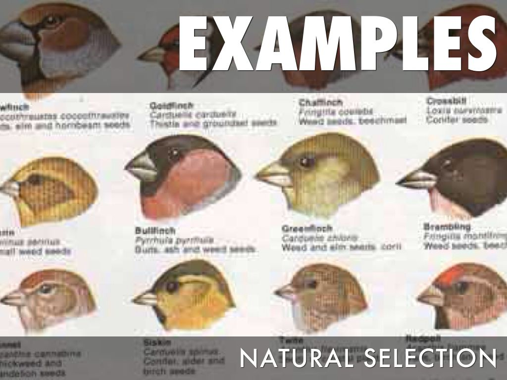 Is Natural Selection A Fact Or Theory