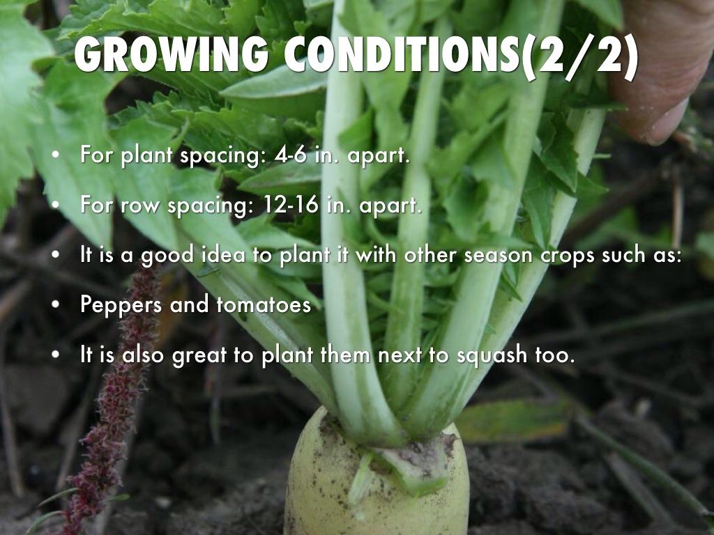 How To Grow Daikon Radish Mycoffeepot Org