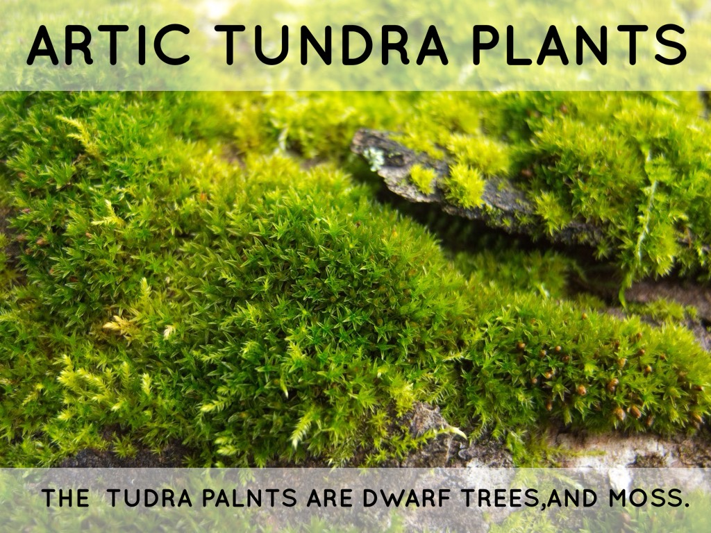 tundra trees and plants wwwpixsharkcom images