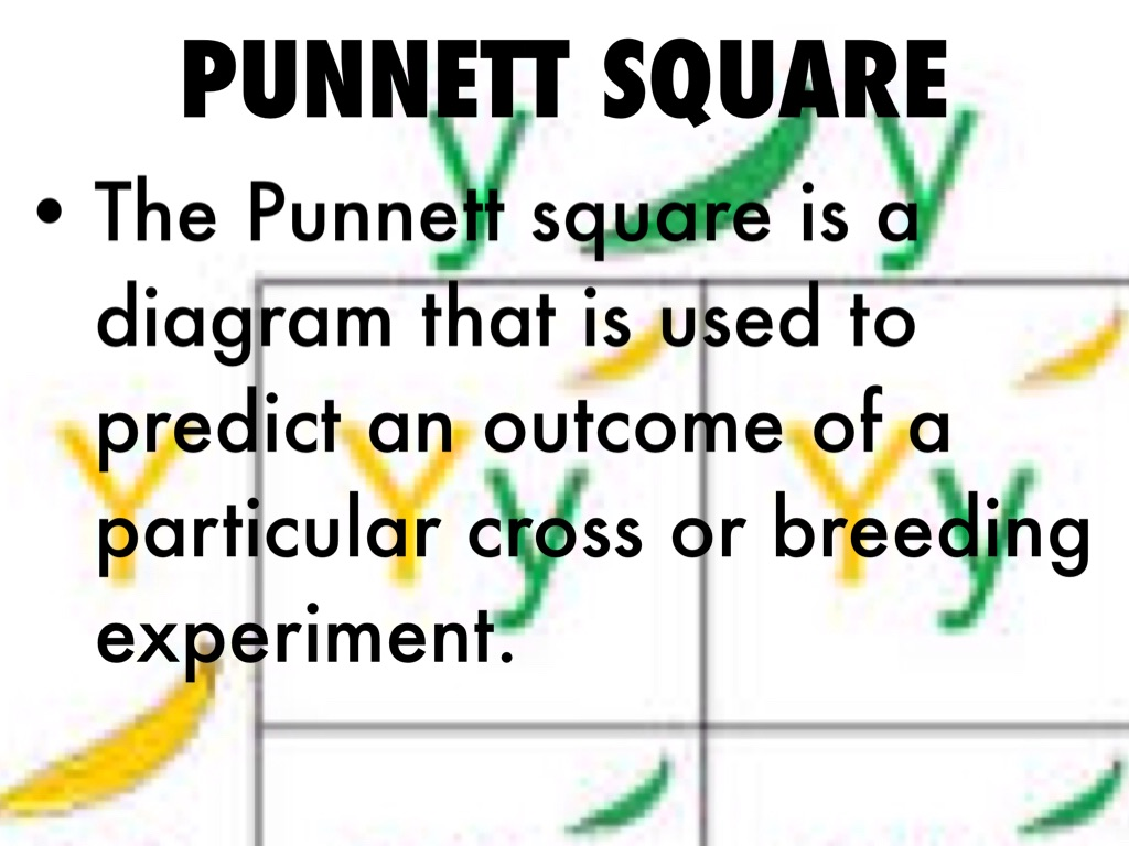 Science Vocabulary By Isaiah Gooden Punnett Square Diagram Allele