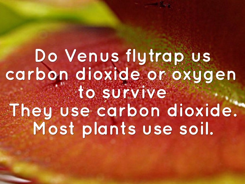 Article Wolf Vs Venus Flytrap By Gurvir Saini Robots Can Hunt And Catch Bugs For Meals Do Us Carbon Dioxide Or Oxygen To Survive They Use Most Plants Soil