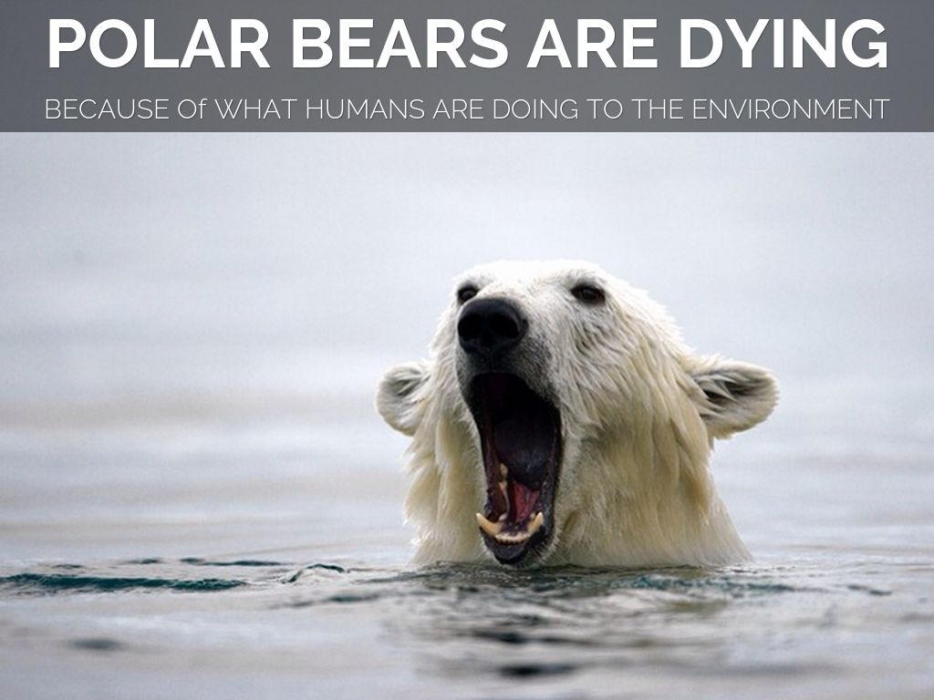 polar bear threatened or not essay