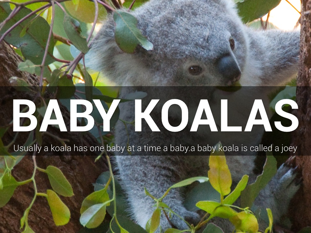 All About Koalas by Jessica Moneo