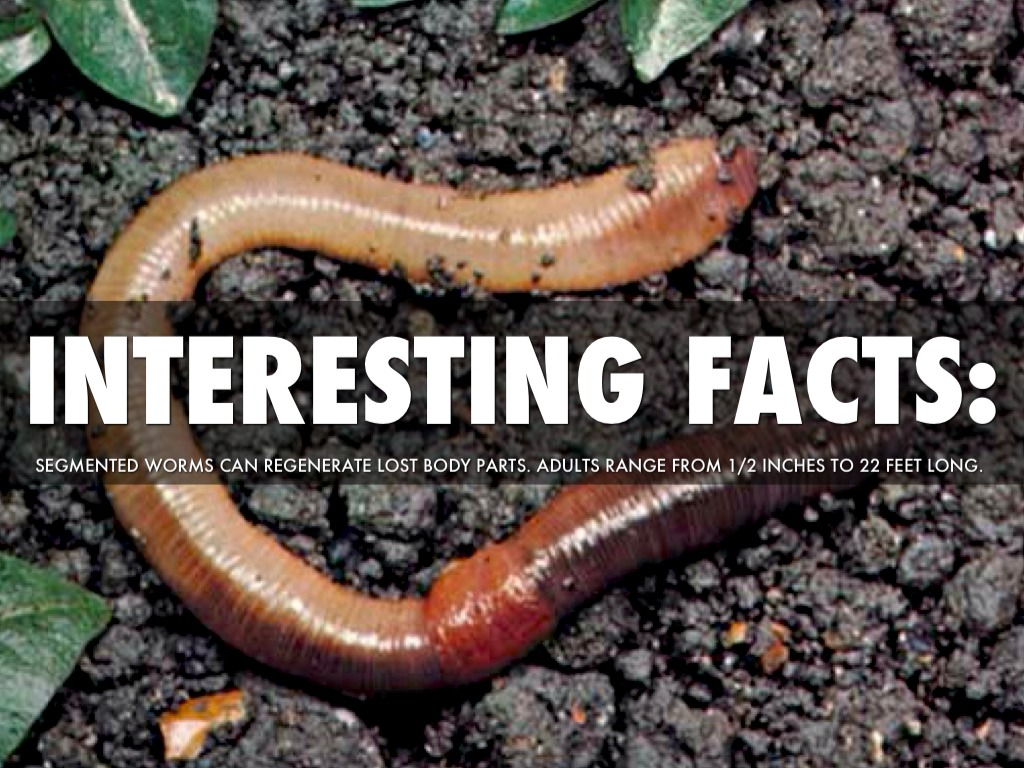 What worms reproduce asexually