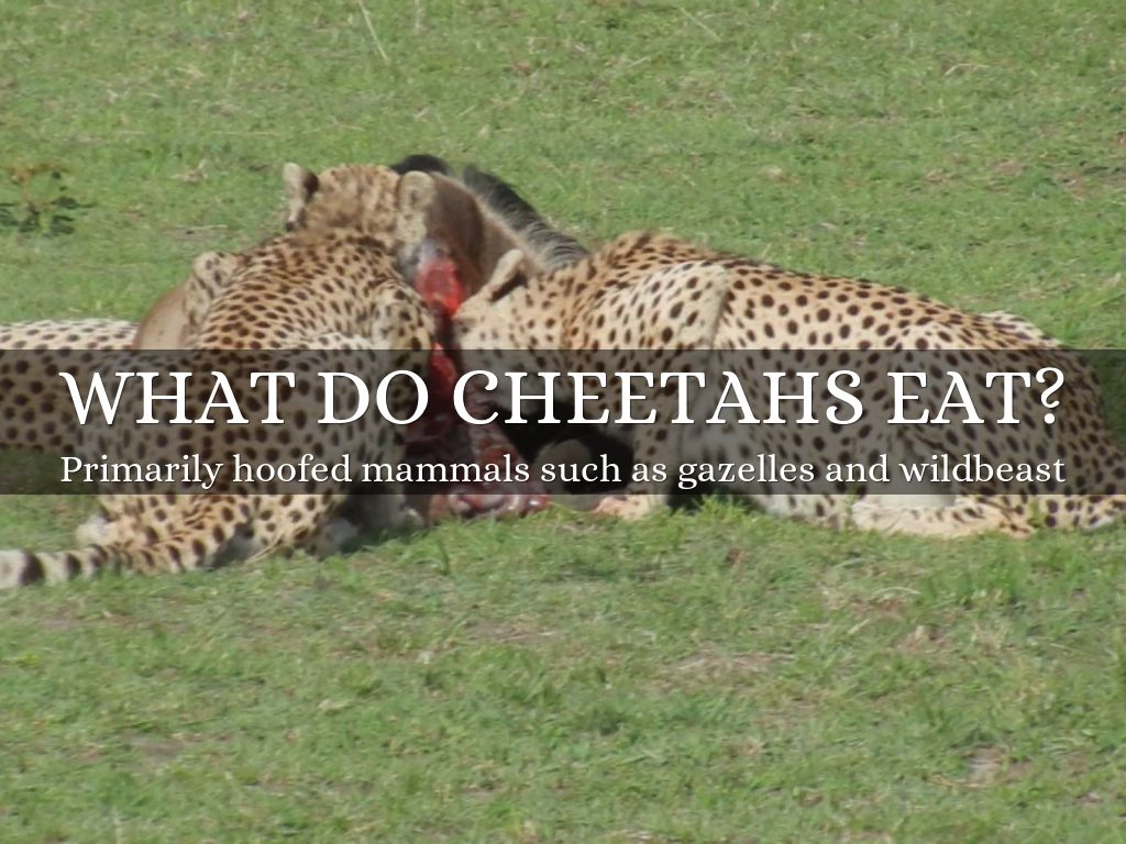 What do cheetahs eat for food