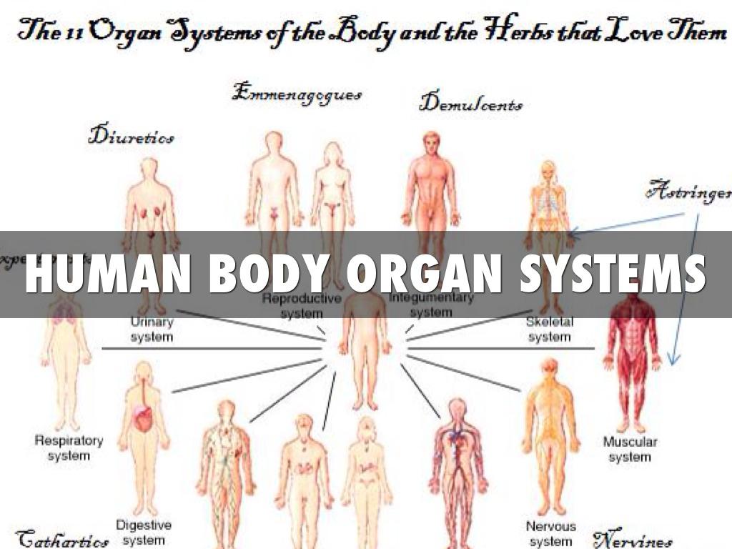 Organ Systems By Taylor Alsip