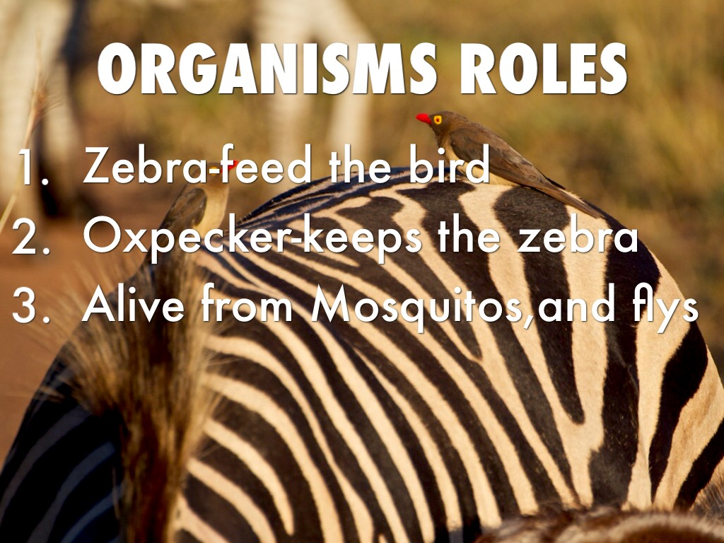 oxpeckers and zebras relationship memes