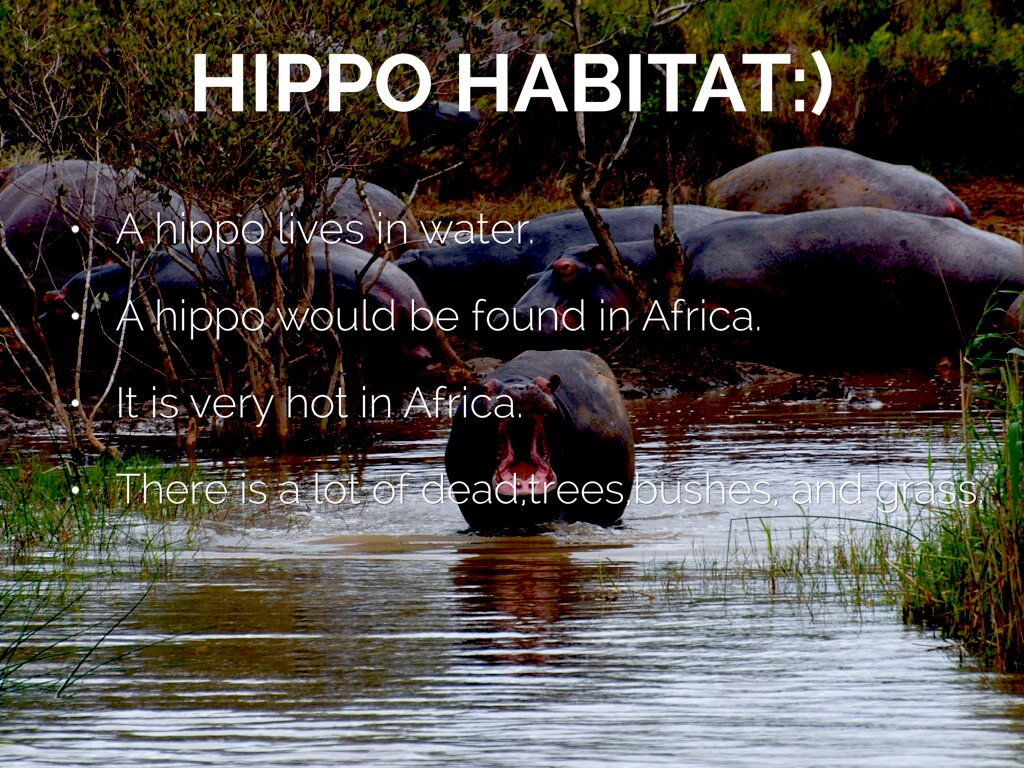 Hippopotamus  African Wildlife Foundation