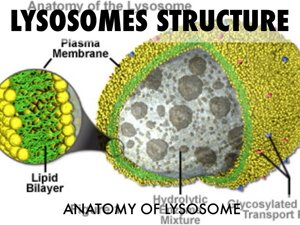 diagram of lysosome diagram of monocyte elsavadorla