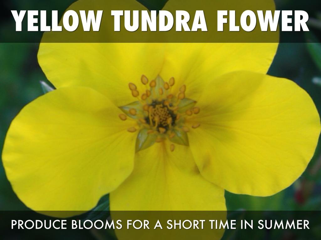 Tundra By Shaniyah Johnson
