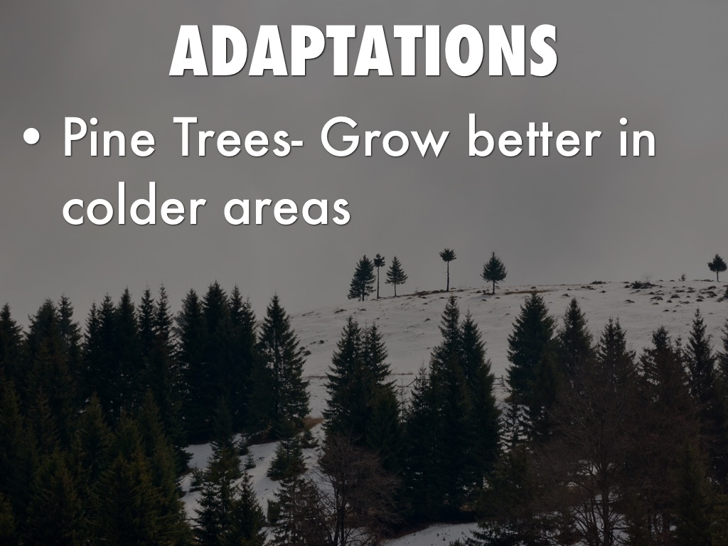 what adaptations do the pine trees have Always in mountain plants like pin e trees have special adaptation to withstand the mountainous region.
