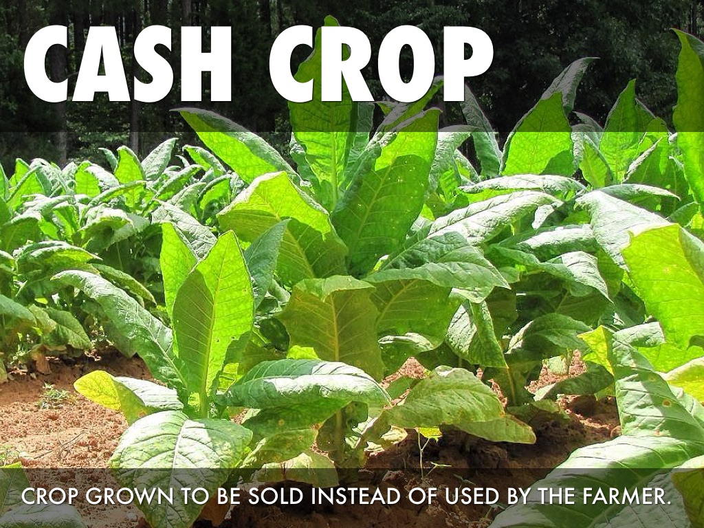 cash crop Find great deals on ebay for cash crop and grow box shop with confidence.