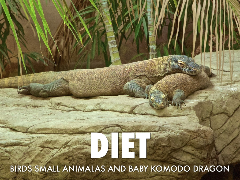 Komodo dragon – facts, habitat, diet and size with pictures