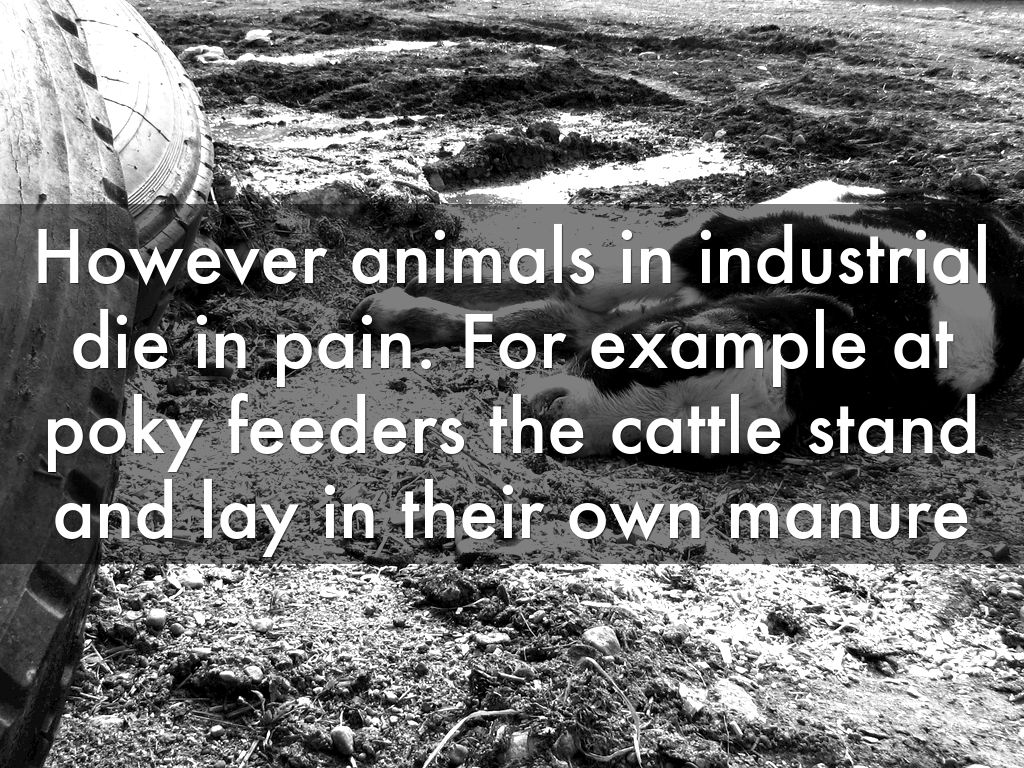 However Animals In Industrial Die In Pain. For Example At Poky Feeders The  Cattle Stand And Lay In Their Own Manure