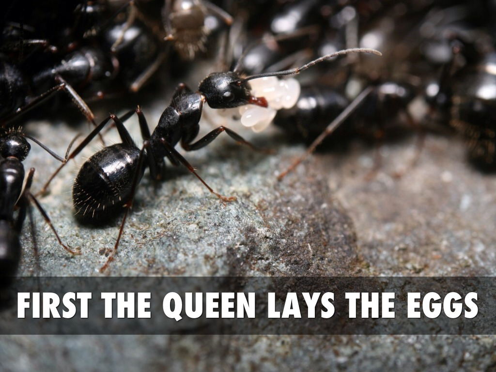 Facts About Ants by chrissy_hall Queen Ant Laying Eggs