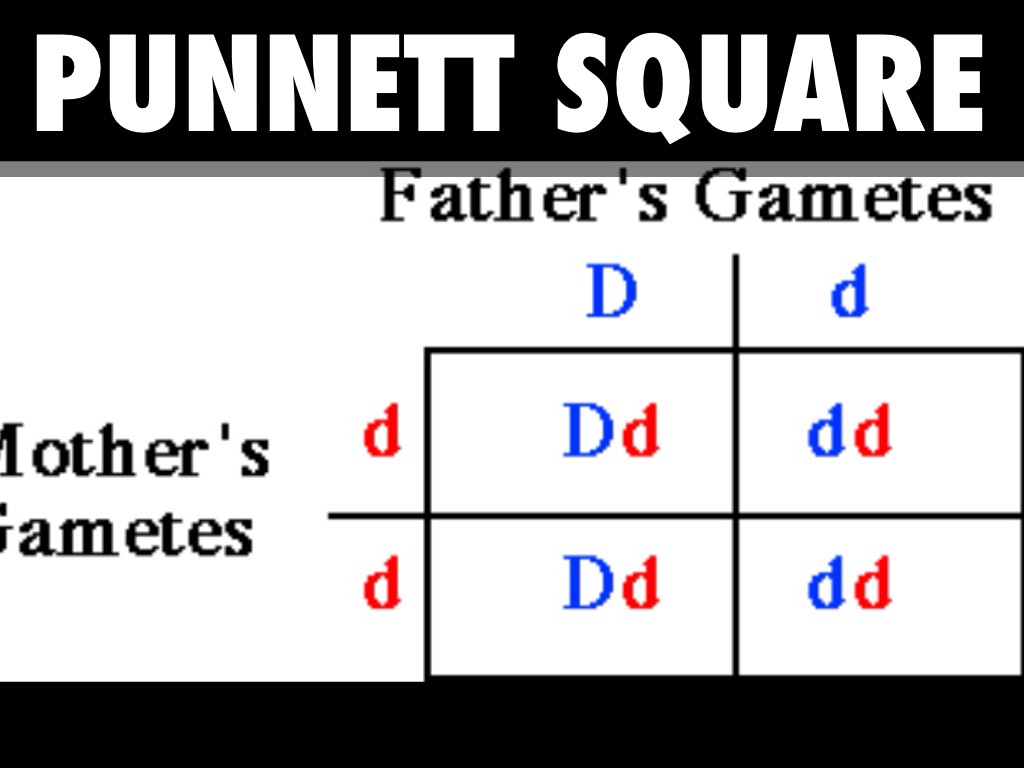 punnett square visual lab Virtual labs created by glencoe many of these labs allow students to test multiple variables caution: the journal and data entry sections of the simulations do not work, so you probably will want to arrange for students to write these on their own pages.