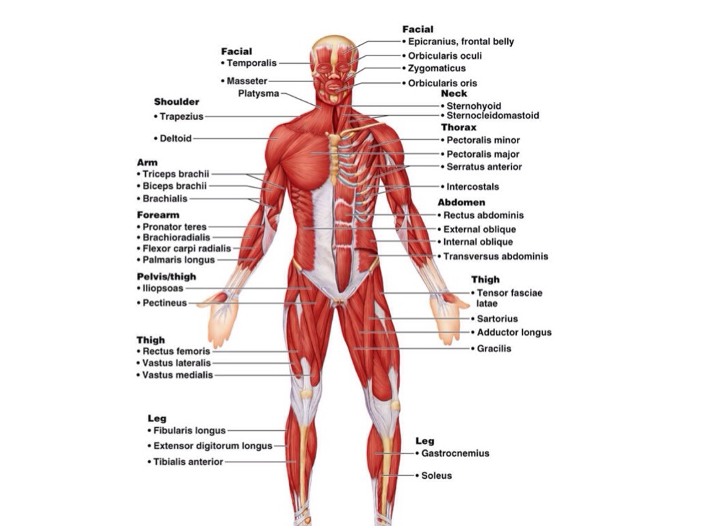 muscular system by ryan porter, Muscles
