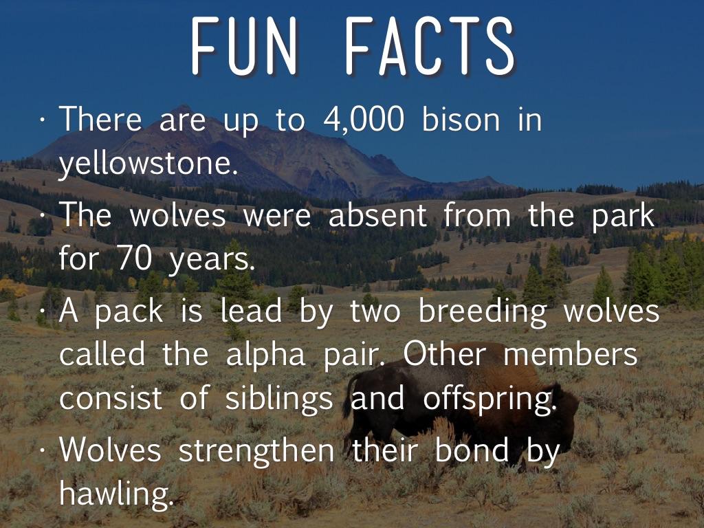 Yellowstone National Park Education Presentation WzQmiIrihR on Animal Facts Pronghorn