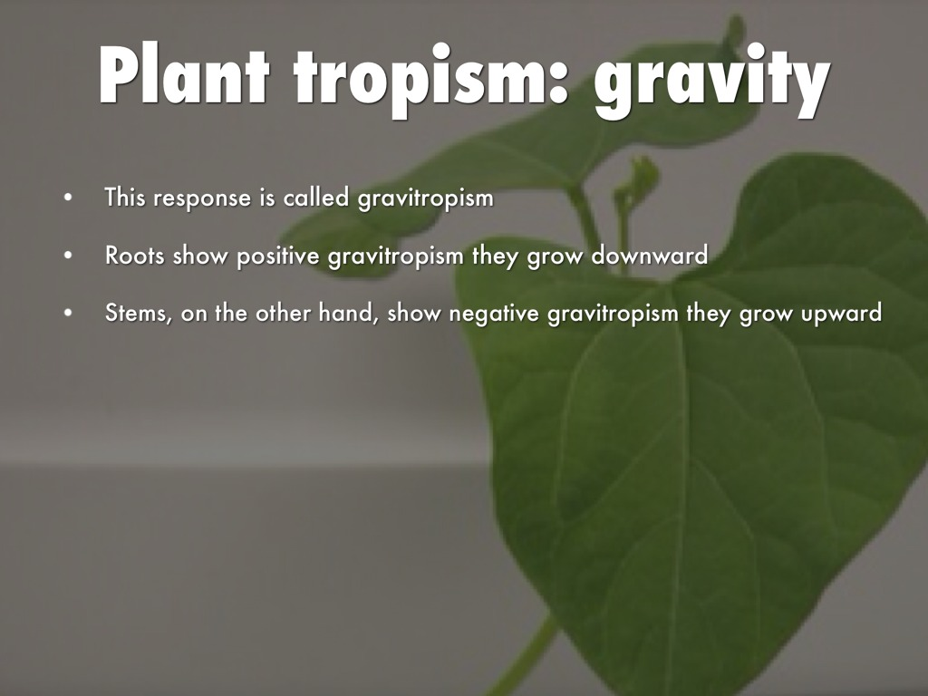 plant gravitropism In plants, the response to a stimulus is known as a tropism this plant movement toward or away from a stimulus can come in many forms this plant movement toward or away from a stimulus can come.